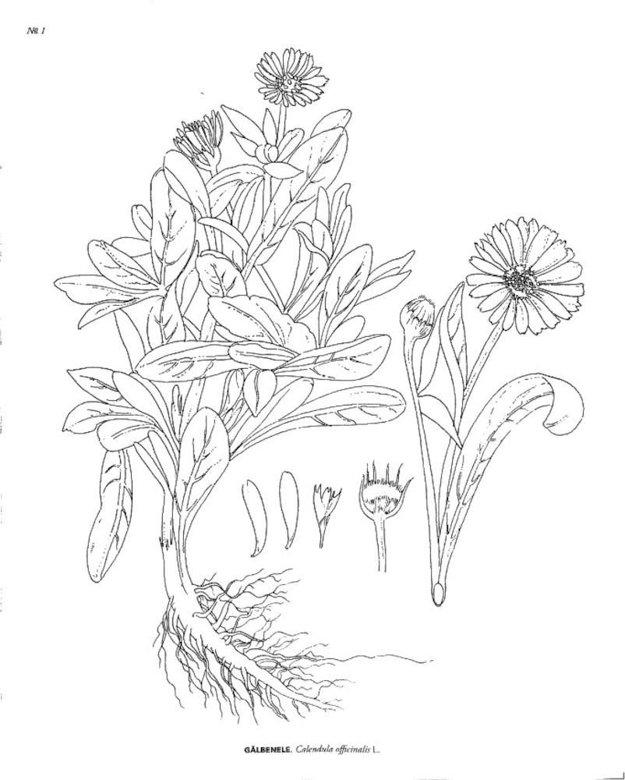 Regatul Plantelor Carte De Colorat