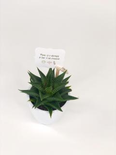 Cactus Suculenta Haworthia in vas ceramica